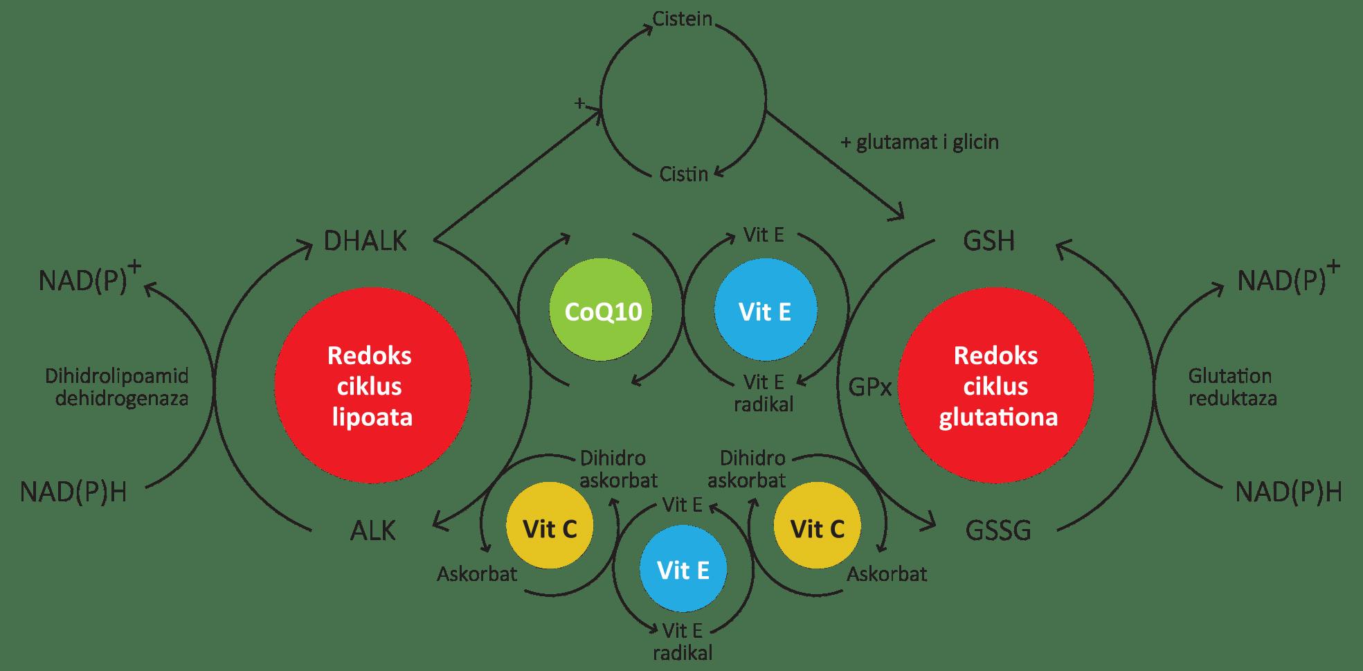 Redoks ciklus lipoata - Redoks ciklus glutationa