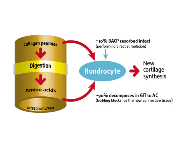 Absorption of bioactive collagen peptides and mechanism of action to chondrocytes